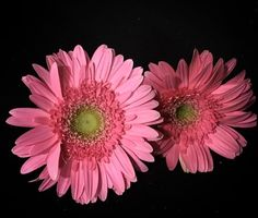 """#Gerbera #Flower #Flower #superb_flowers #kings_flora #quintaflower #macroworld_tr #instagardenlovers #ptk_flowers #my_daily_flower #florecitas_mx #ig_flowers #flowerstalking #lovelynatureshots #loves_flowers_ #bd_gardens #bd_flower #gr8flowers #lovely_flowers_ #fabulous_shots #igscflowers #Iphone6S #iphonegraphy #iphone6sphotography by pushpabisht07 Follow """"DIY iPhone 6/ 6S Cases/ Covers/ Sleeves"""" board on @cutephonecases http://ift.tt/1OCqEuZ to see more ways to add text add #Photography…"""