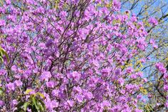 Common Name: Korean Rhododendron Plant Story: Noted for its early spring flowers, Rhododendron mucronulatum is a dense, upright shrub with rose/purple flowers that bloom before the elliptic green leaves appear. Leaves turn yellow and red in the fall. Type: Shrub Deciduous Bloom Season: Spring Flower Color: Purple Planting Zone: 4-7 Height: 4-8 ft
