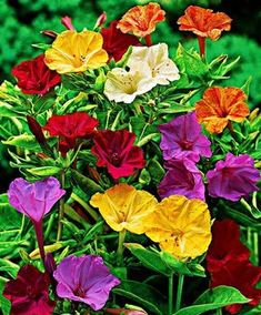 Buy hardy perennials now Creeping Phlox 2 Varieties Creeping Phlox, Clock Flower, Red Sunflowers, Beautiful Flowers Pictures, Four O Clock, Pot Plante, Hardy Perennials, Annual Flowers, Language Of Flowers