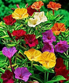 Buy hardy perennials now Creeping Phlox 2 Varieties 4 Oclock Flowers, Creeping Phlox, Beautiful Flowers Pictures, Four O Clock, Pot Plante, Annual Flowers, Hardy Perennials, Language Of Flowers, Tall Plants