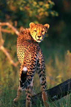 Cheetah by Catman-Suha