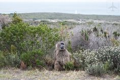 Keep your eyes peeled while inside Table Mountain National Park when driving towards Cape Point. You might spot some animals! Table Mountain, Self Driving, South Africa, Cape, National Parks, Eyes, Travel, Animals, Mantle