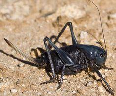 116...Mormon Cricket