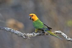 Foto jandaia-verdadeira (Aratinga jandaya) por Ciro Albano | Wiki Aves - A Enciclopédia das Aves do Brasil
