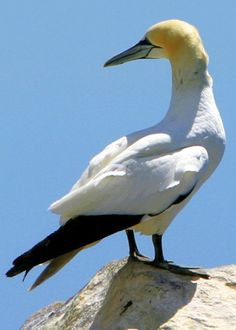 Northern Gannet (Morus bassanus) is a seabird and is the largest member of the gannet family, Sulidae. It has the same colors as the Australasian Gannet and is similar in appearance. Adults are 32–43 inches long, weigh 4.9–7.9 lbs and have a 65–71 inches wingspan.