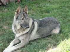 A silver German shepard | GERMAN SHEPHERDS