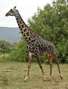 Maasai Giraffe - Tanzania