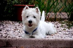 Give me a westie,on the rocks, please! How cute is this?