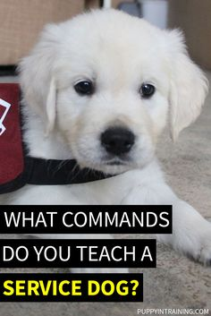 What Commands Do You Teach A Service Dog? - We've worked with puppies from 5 different service and guide dog schools. Check out our list of 58 Service Dog Commands we've taught our puppies in training. Dog Commands Training, Service Dog Training, Puppy Training Tips, Training Your Dog, German Dog Commands, Service Dogs Breeds, Autism Service Dogs, Psychiatric Service Dog, Dog Minding