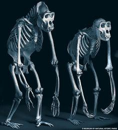 Procedural Rigging and Comparative Anatomy