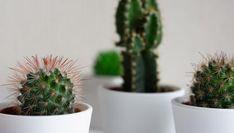 4 razones por las que no crece tu suculenta Cacti And Succulents, Ale, Planter Pots, Exterior, Deco, Gardens, World, Propagating Succulents, Gardening At Home