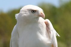 Leucistic Red-tailed Hawk. Leucism is a condition that affects birds' feathers and turns them pale or white. Photo credit: Ron Warner