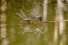 Coupling dragonflies