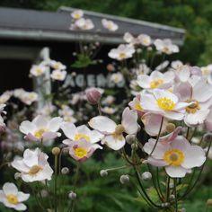 høstanemoner (som i Kirstens kolonihave) skal plantes om foråret! Selvom de sælges i stor stil om efteråret..