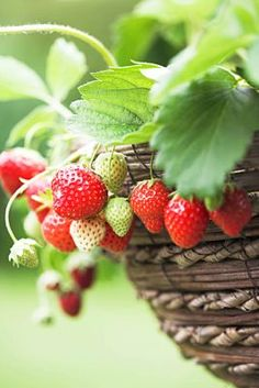 -BLEN: Strawberry Jelly-  strawberries Strawberry Delight, Strawberry Farm, Strawberry Patch, Strawberry Fields, Fruit And Veg, Fruits And Vegetables, Berry Picking, Plants Are Friends, Gardens