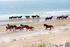 Corolla Wild Horses roam the beach on The Outer Banks, North Carolina USA Outer Banks North Carolina, Outer Banks Nc, Outer Banks Vacation, Vacation Spots, Corolla Outer Banks, North Carolina Beaches, Rodanthe North Carolina, Kitty Hawk North Carolina, North Carolina Day Trips