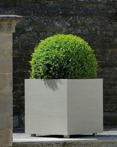 Globe boxwood in planters
