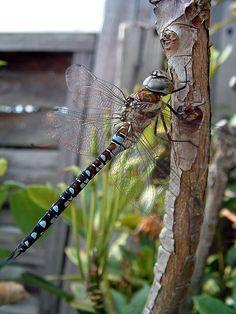 Dragonfly by markchadwickart, via Flickr