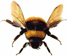 Bumble Bee  http://www.factzoo.com