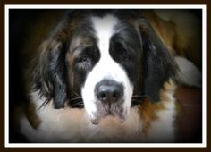 Chloe (pls call 330.647.3892 for info) is an adoptable Saint Bernard St. Bernard Dog in Warren, OH. Chloe has lost her home!  She is so depressed.  so sad.  she is 5 years old, and weighs 100 lbs.  A ...