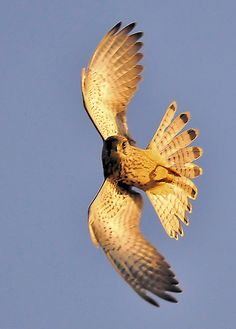 ♂ Amazing nature bird fly Kestrel (Falco tinnunculus) Explored 26th September 2009 | Flickr - Photo Sharing!