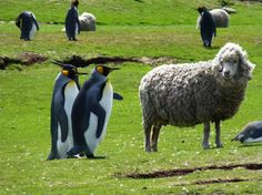 Falkland Islands Tours - Travel to the remote Falklands, discover rare wildlife colonies and inviting local communities. This Falklands tour includes, Sea Lion, Saunders & East Falkland in search of island wildlife. Funny Animal Pictures, Funny Animals, Random Pictures, Stanley Falkland Islands, Wildlife Week, King Penguin, Argentine, Island Tour, Sea Birds