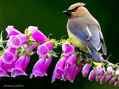 Cedar Waxwing on Foxglove: We had Waxwings every fall. Huge flocks would be around our home when they flew south for the winter. My Mom always had Foxglove in our yard. I don't think they ever were at our home at the same time???