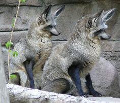 Otocyon-megalotis-renard-aux-oreilles-de-chauve-souris-1