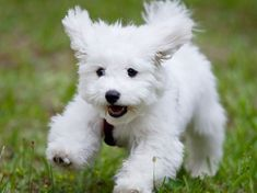 The Most Loyal Dog Breeds That Are Perfect For Families - Page 47 of 61 - Lifebru Loyal Dog Breeds, Loyal Dogs, Small Dog Breeds, Small Dogs, Bichon Frise, Maltese Dogs, Dogs And Puppies, Puppy Pictures, Cute Pictures