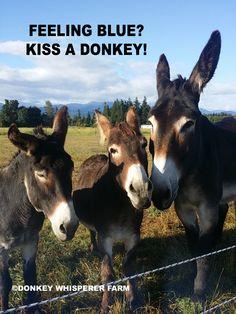#DONKEY #DONKEYS #MAMMOTHDONKEY #BURRO #STANDARDDONKEY #MINIDONKEY #BARN #FARM #DONKEYTRAINING #DONKEYHALTER #DONKEYEDUCATION #FAMILY #PETS #FARMANIMALS Donkey Donkey, Baby Donkey, Cute Donkey, Mini Donkey, Farm Animals, Animals And Pets, Funny Animals, Cute Animals, Burritos