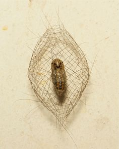 Moths of the Cyana genus (Lithosiini, Arctiinae, Erebidae) pupate in a woven basket of the caterpillar's body hairs rather than silk. It is an open square mesh cage, constructed out of larval hairs held together with silk. The caterpillar itself is very hairy but where the hairs are too short to construct the cage directly, the caterpillar attaches pairs of hairs to each other end to end, and uses these pairs to make the sides of the cage. The pupa is suspended in the middle of the cage…