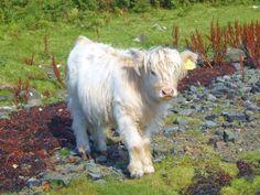 'Highland Cow' - Emily Sugars