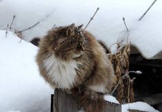 Siberian Farm Cats Have Absolutely Taken Over This Farmer's Land, And They're Absolutely Majestic - Like Sharing Siberian Forest Cat, Siberian Cat, Crazy Cat Lady, Crazy Cats, Norwegian Cat, Huge Cat, American Curl, Kitten Photos, Exotic Shorthair