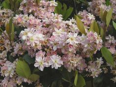 Indian Hawthorn Low Maintenance Landscaping