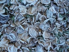 Beautiful, frosted leaves