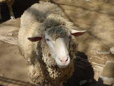 Baca powinien być na bieżąco ze wszystkimi zakazami, które utożsamiane są z kulturowym wypasem owiec. Wymagane jest posiadanie właściwej licencji, ale też odporność na wymagające warunki pracy i monotonię dnia codziennego. Potrzeba bardzo dużej silnej woli i miłości do gór, żeby zdecydować się na takie zajęcie. Konieczna jest świadomość, iż ta praca wymaga wielu wyrzeczeń. Bacowie to przede wszystkim typy samotników, charakteryzują się się nieprzeciętną gorliwością i sprawnością.