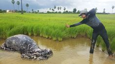 Wow! Brave Boy Catch Big Python Snake Using Slingshot - How To Catch Huge Snake at Battambang