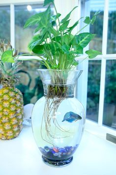 The easiest way to make a betta fish peace lily aquarium for Plant with fish in vase