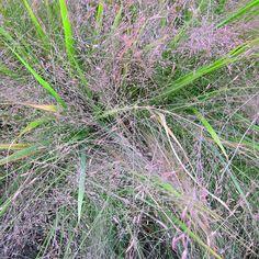 Eragrostis x 'Purple Love Grass'