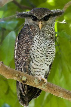 Gufo reale della Malesia - ( Barred eagle-owl)
