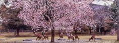 nara_deer_cherry_blossom_Japan