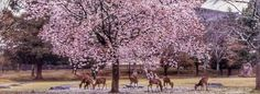 nara_deer_cherry_blossom_Japan