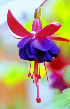Fuchsia es la combinacion de la delicadeza de una flor campana y la sensualidad de una rosa. Es una flor muy hermosa y se da en muy pocos paises.
