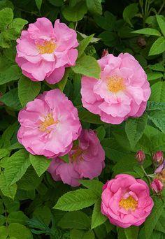 ✯ Damask Rose 'Jaufré Rudel'