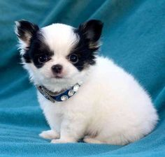 We have beautiful chihuahua puppies adoption. All puppies are dewormed, vaccinated by veterinary, microchip and health guarantee of 1 year. $0.00 USD