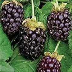 Thornless Boysenberry'  Frugten: Bærret er ca. 3 cm stort, rødligt med en sødlig smag Anvendelse: Modner fra september. Vækst: Minder meget om hindbær. I øvrigt: Krydsning af brombær og hindbær. Botanisk navn: Rubus fruticosus