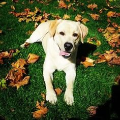 yellow lab puppy in the fall