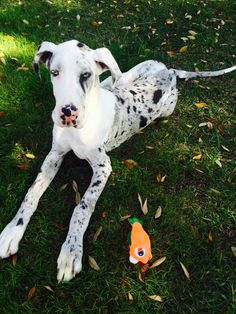 Blue eyed harlequin Great Dane .. Mr. Merle