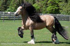 MASTER MCGRATH !STUNNING! GYPSY VANNER STALLION !!!  #HORSES