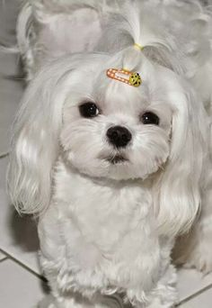 Maltese I used to put Buster's top knot up he looked so cute. Still love my little guy...
